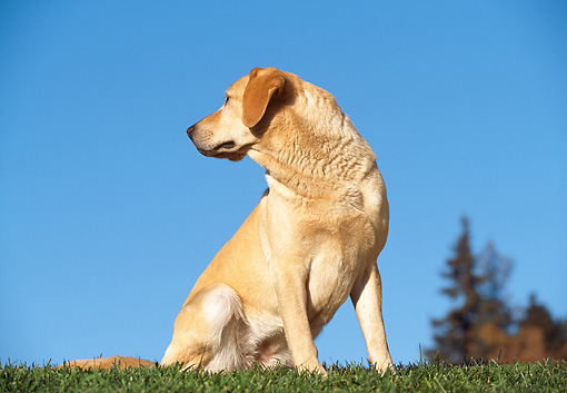 DOG 18 RK0018 05 © Kimball Stock Yellow Labrador Retriever Sitting On Grass By Trees Blue Sky
