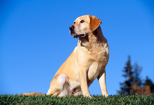 DOG 18 RK0018 06 © Kimball Stock Yellow Labrador Retriever Sitting On Grass By Trees Blue Sky