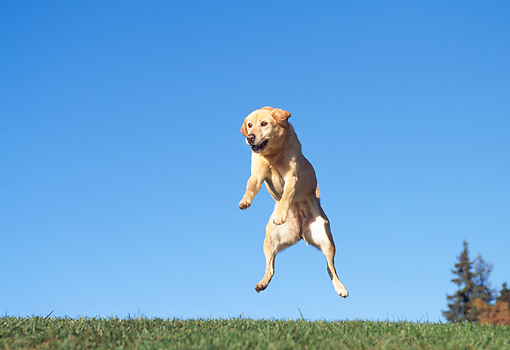 DOG 18 RK0020 23 © Kimball Stock Yellow Labrador Leaping By Trees Blue Sky