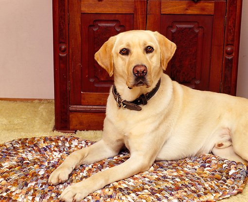 DOG 18 RK0032 02 © Kimball Stock Yellow Labrador Retriever Laying On Rug By Dresser