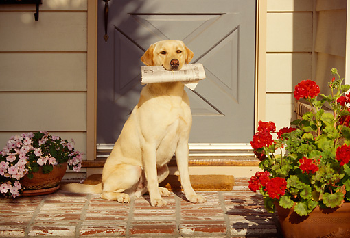 DOG 18 RK0037 08 © Kimball Stock Yellow Labrador Retriever Sitting By House Holding Newspaper In Mouth
