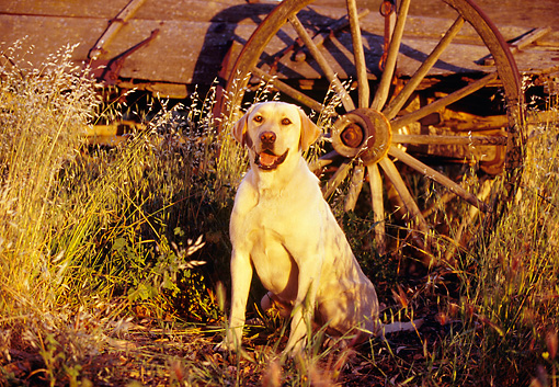 DOG 18 RK0049 09 © Kimball Stock Yellow Labrador Retriever Sitting By Wagon And Tall Dry Grass
