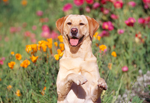 DOG 18 RK0058 02 © Kimball Stock Yellow Labrador Retriever  Standing On Hind Feet Paws Up In Flower Garden
