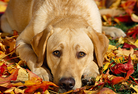 DOG 18 RK0074 15 © Kimball Stock Head Shot Of Yellow Labrador Retriever Laying On Fall Leaves Facing Camera