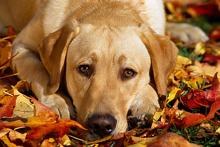 DOG 18 RK0074 16 © Kimball Stock Head Shot Of Yellow Labrador Retriever Laying On Fall Leaves Facing Camera