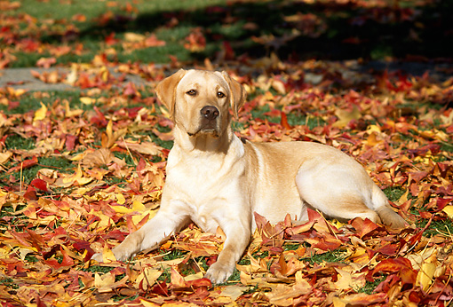 DOG 18 RK0075 03 © Kimball Stock Yellow Labrador Retriever  Laying On Autumn Leaves