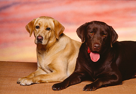 DOG 18 RK0085 03 © Kimball Stock Yellow And Chocolate Labrador Retriever Laying Together Facing Camera Sunset Background