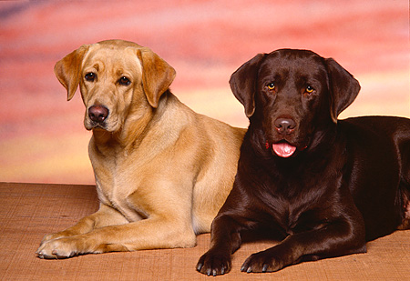 DOG 18 RK0085 06 © Kimball Stock Yellow And Chocolate Labrador Retriever Laying Together Facing Camera Sunset Background