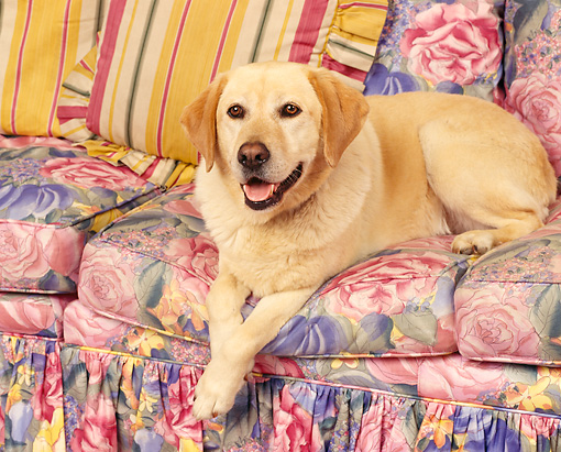 DOG 18 RK0088 04 © Kimball Stock Yellow Labrador Retriever Laying On Floral-Print Couch