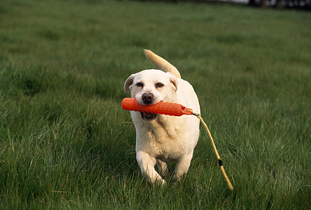 DOG 18 RK0100 04 © Kimball Stock Yellow Labrador Running On Grass With Rope In Mouth