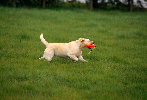 DOG 18 RK0121 06 © Kimball Stock Profile Shot Of Yellow Labrador Running On Grass With Toy In Mouth