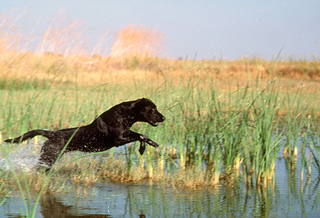 DOG 18 RK0177 02 © Kimball Stock Black Labrador Retriever Retrieving In Marsh