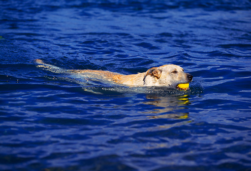 DOG 18 RK0200 01 © Kimball Stock Yellow Labrador Retriever Swimming In Water With Ball In Mouth