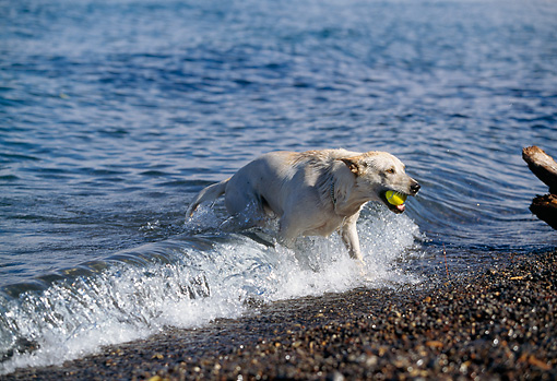 DOG 18 RK0201 08 © Kimball Stock Yellow Labrador Retriever Emerging From Water Holding Ball