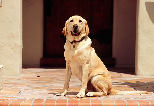 DOG 18 RK0210 03 © Kimball Stock Yellow Labrador Retriever Sitting By Front Door
