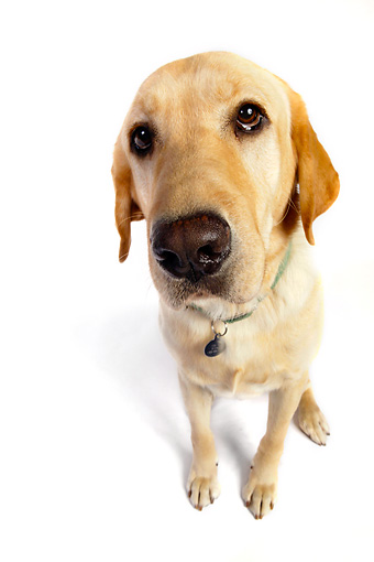 DOG 18 RK0227 01 © Kimball Stock Wide Angle Shot Of Labrador Retriever On White Seamless