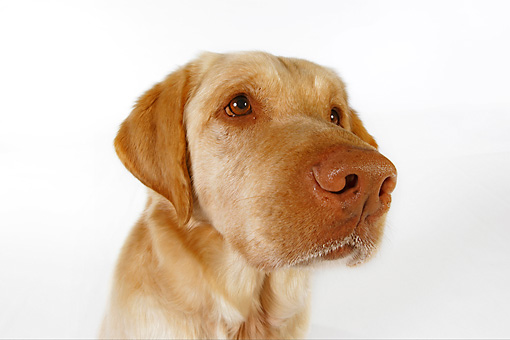 DOG 18 RK0242 01 © Kimball Stock Head Shot Of Yellow Labrador Retriever On White Seamless