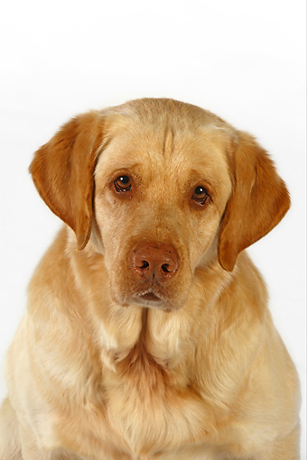 DOG 18 RK0247 01 © Kimball Stock Head Shot Of Yellow Labrador Retriever On White Seamless
