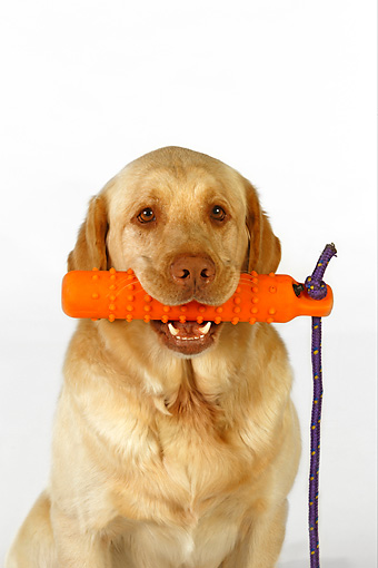 DOG 18 RK0248 01 © Kimball Stock Head Shot Of Yellow Labrador Retriever With Toy In Mouth White Seamless