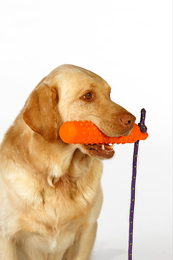 DOG 18 RK0249 01 © Kimball Stock Head Shot Of Yellow Labrador Retriever With Toy In Mouth White Seamless