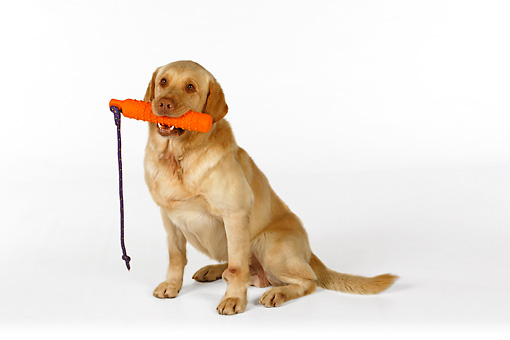DOG 18 RK0250 01 © Kimball Stock Yellow Labrador Retriever Sitting With Toy In Mouth On White Seamless