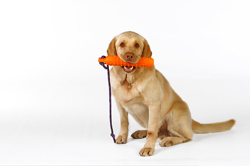 DOG 18 RK0251 01 © Kimball Stock Yellow Labrador Retriever Sitting With Toy In Mouth On White Seamless