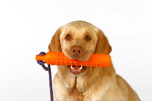 DOG 18 RK0252 01 © Kimball Stock Head Shot Of Labrador Retriever With Toy In Mouth On White Seamless