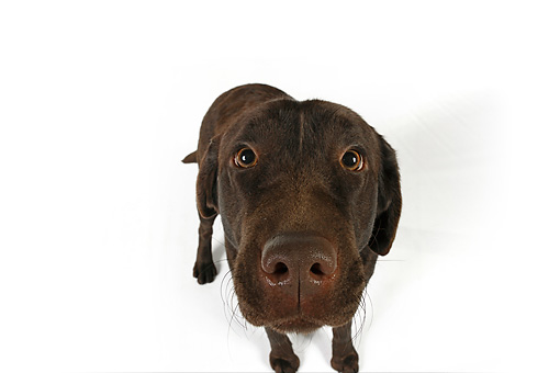 DOG 18 RK0256 01 © Kimball Stock Wide Angle Head Shot Of Chocolate Labrador Retriever On White Seamless