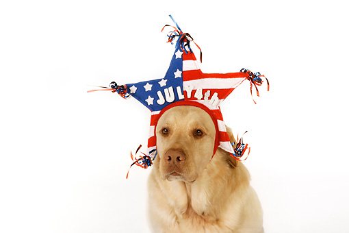 DOG 18 RK0268 01 © Kimball Stock Yellow Labrador Retriever Wearing American Flag Star Hat White Seamless