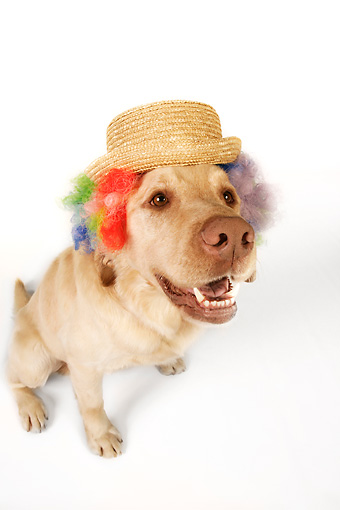 DOG 18 RK0270 01 © Kimball Stock Wide Angle Shot Of Yellow Labrador Retriever Wearing Wig And Hat On White Seamless