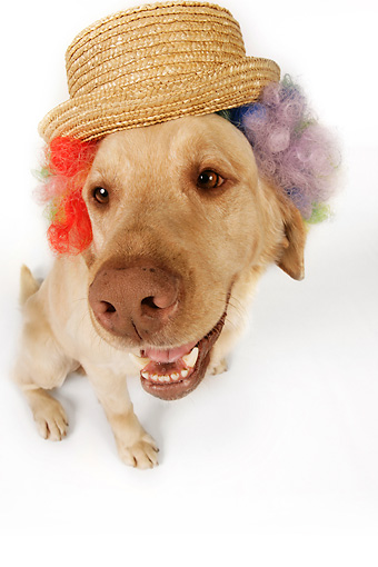 DOG 18 RK0271 01 © Kimball Stock Wide Angle Shot Of Yellow Labrador Retriever Wearing Wig And Hat On White Seamless