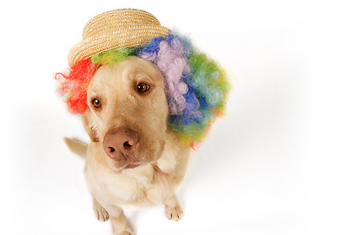 DOG 18 RK0272 01 © Kimball Stock Wide Angle Shot Of Yellow Labrador Retriever Wearing Wig And Hat On White Seamless