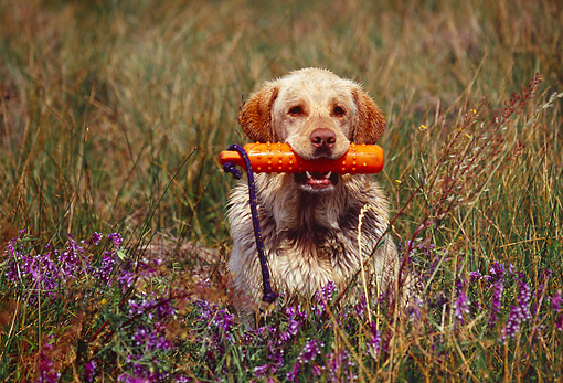 DOG 18 RK0320 01 © Kimball Stock Yellow Labrador Retriever Sitting In Field Holding Orange Dummy In Mouth
