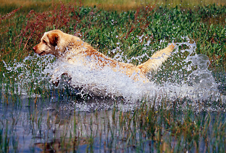 DOG 18 RK0323 25 © Kimball Stock Yellow Labrador Retriever Running Through Water Splashing