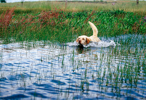 DOG 18 RK0326 02 © Kimball Stock Yellow Labrador Retriever Paddling In Marsh