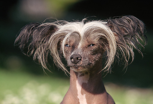 DOG 19 AB0001 01 © Kimball Stock Head Shot Of Chinese Crested On Grass