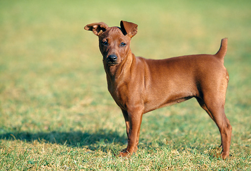 DOG 19 AB0002 01 © Kimball Stock Miniature Pinscher Standing On Grass Profile