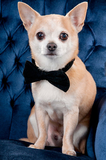 DOG 19 AC0007 01 © Kimball Stock Chihuahua Groom Sitting In Chair
