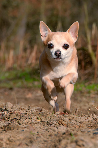 DOG 19 AC0008 01 © Kimball Stock Chihuahua Running On Dirt Trail
