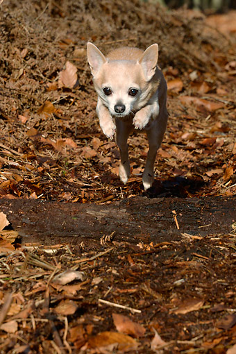DOG 19 AC0011 01 © Kimball Stock Chihuahua Male Leaping