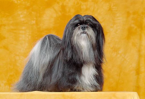 DOG 19 CB0001 01 © Kimball Stock Lhasa Apso Standing In Orange Studio Profile