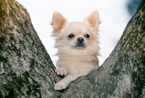 DOG 19 CB0006 01 © Kimball Stock Long-Haired Chihuahua Leaning On Tree Trunk