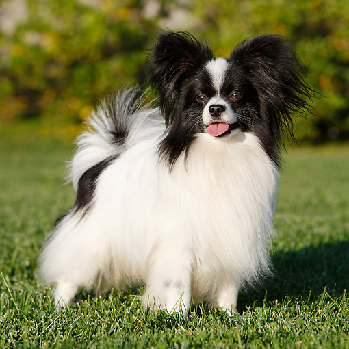 DOG 19 CB0020 01 © Kimball Stock Papillon Standig In Grass