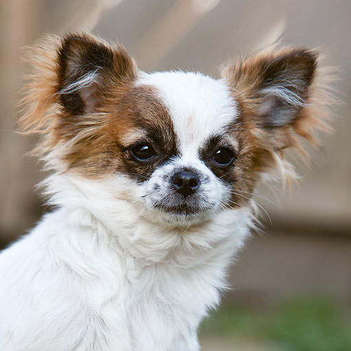 DOG 19 CB0027 01 © Kimball Stock Chihuahua Portrait