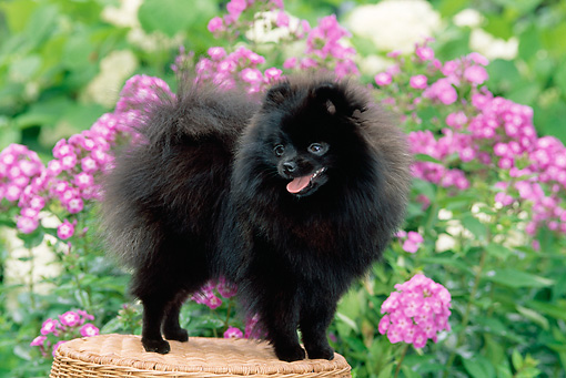DOG 19 CE0083 01 © Kimball Stock Black Pomeranian Standing On Wicker Stool In Garden