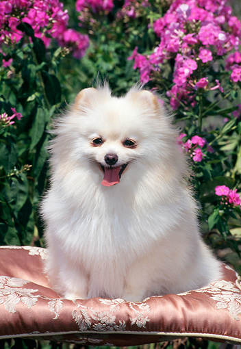 DOG 19 CE0084 01 © Kimball Stock Pomeranian Sitting On Silk Cushion In Garden