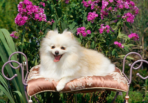 DOG 19 CE0085 01 © Kimball Stock Pomeranian Resting On Silk Cushion In Garden
