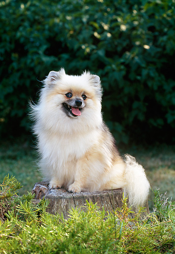 DOG 19 CE0086 01 © Kimball Stock Cream And Sable Pomeranian Sitting On Stump