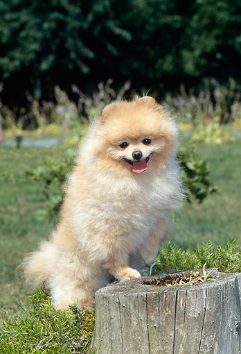 DOG 19 CE0087 01 © Kimball Stock Pomeranian Leaning On Stump In Grass