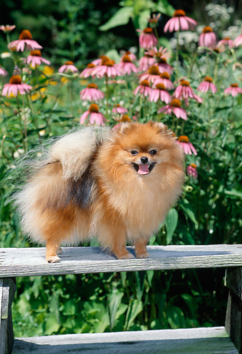 DOG 19 CE0091 01 © Kimball Stock Pomeranian Standing On Wooden Bench In Garden
